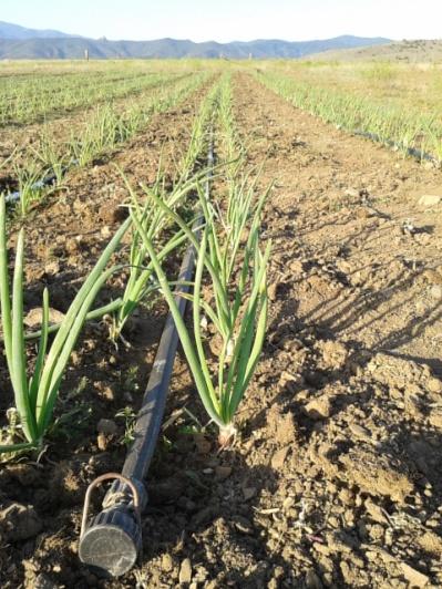 Onions making progress