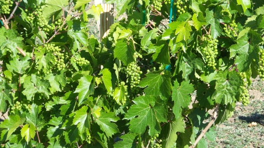 Lon Rombough's legacy in this Marechal Foch rootstock.