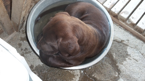 Buster cools down in his water bowl...think he'll be a swimmer?